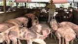 Hàng triệu nông dân sống dựa vào nguồn lợi chăn nuôi