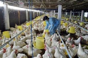 Một trại chăn nuôi gà ở Hốc Môn, ngoại ô TP HCM