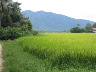 Một cánh đồng lúa ở Việt Nam