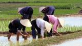 Nông dân Việt Nam thâu hoạch