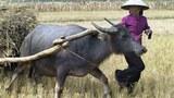 Nông dân xử dụng xe trâu đi kéo lúa