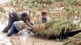 Nông dân trong mùa thu họach