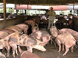 Trại chăn nuôi heo giống quy mô