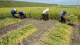 Vietnam-farmer-rice-filed-032409-305.jpg