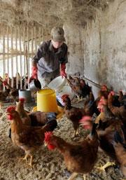Một trại nuôi gà ở Hà Nội. AFP photo