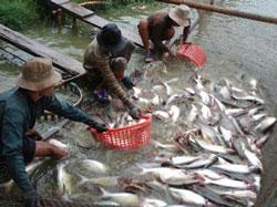 Cá tra xuất khẩu. Photo courtesy of agroviet.gov.vn