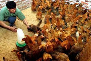Bị ảnh hưởng bởi giá thực phẩm gia súc ngành chăn nuôi luôn gặp khó khăn