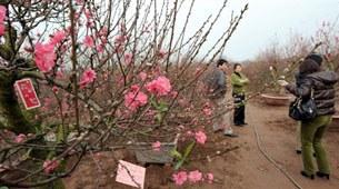 Người dân Hà Nội lựa chọn những cây Đào đẹp nhất trong những ngày cận Tết Canh Dần.