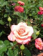 Rose150.jpg
