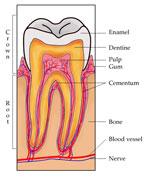 Tooth150.jpg
