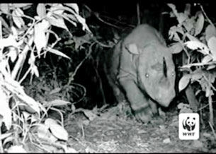 Tê giác một sừng còn được gọi tê giác Java. Screen capture