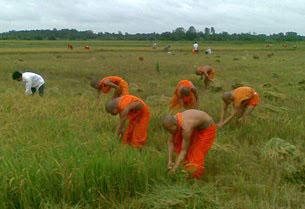 Các nhà sư Khmer krom đang gặt lúa. RFA file