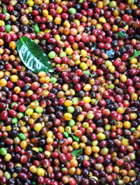 Trái cà phê chín ở một nông trại thuộc Colombia, nước sản xuất cà phê lớn thứ ba thế giới, sau Brazil và Việt nam. AFP Photo