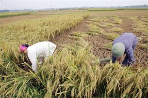 Vụ đông xuân năm nay nông dân được mùa