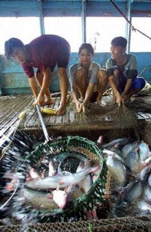 Các ngư dân đang kéo mẻ lưới đầy cá basa tại nông trại tư nhân ở An Giang. AFP Photo