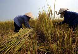 Nông dân ở Hà Tây đang thu hoạch lúa. AFP PHOTO.