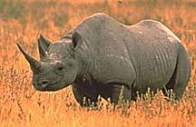 Tê giác 2 sừng. VN có 9 loài động vật trước kia chỉ nằm trong tình trạng de dọa nhưng nay xem như đã tuyệt chủng như tê giác hai sừng, bò xám, heo vòi. Photo courtesy Wikipedia