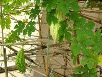 Một dàn mướp được trồng sau nhà. RFA file