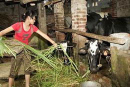 Nuôi bò sữa nhỏ lẻ trong các hộ gia đình. Photo BaHoat/vietlinh