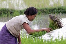 Nông dân Campuchia đang nhổ mạ. AFP