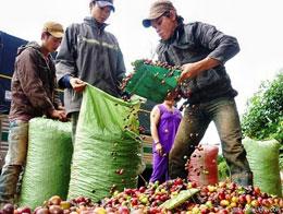 Doanh nghiệp mua cà phê trực tiếp từ nông dân. Xaluan.com