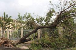 Một cây Sưa bị đổ do bão tại Đà Nẵng, ảnh chụp tháng 10 năm 2013. RFA PHOTO.