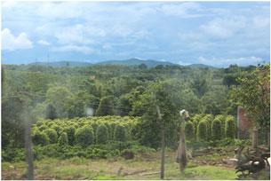 Nông dân Tây Nguyên trồng tiêu ở tỉnh Gia Lai, ảnh chụp trước đây. RFA PHOTO.