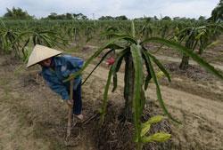 Một nông dân đang chăm sóc cây Thanh Long. AFP photo
