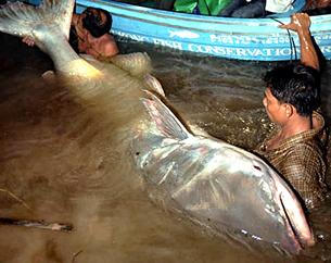 """Loại cá """"Catfish"""" khổng lồ ở sông Mekong là một trong những loài catfish lớn nhất thế giới. Source mekongculture"""
