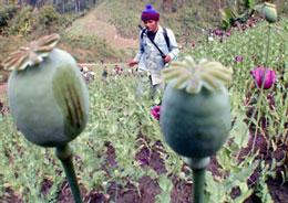 Một cánh đồng trồng thuốc phiện ở vùng biên giới Thái Lan và Miến Điện đang được phá huỷ. AFP