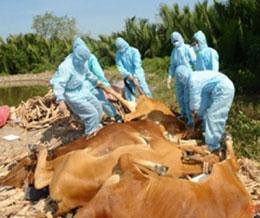 Dịch lở mồm long móng năm 2011 đã gây thiệt hại đáng kể cho ngành chăn nuôi. (ảnh vtvdanang)