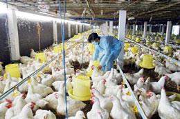 Trại nuôi gà công nghiệp. AFP