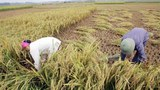 rice-farmer-305.jpg