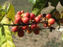 Loại cà phê robusta đang được ưa chuộng. AFP