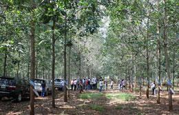 Các nhà đầu tư tham quan vườn cao su ở Lào của Tập đoàn Hoàng Anh Gia Lai .(Source hagl.com.vn)