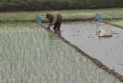 Nông dân sớm gieo sạ lúa. RFA photo