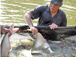 Nông dân nuôi cá Basa. nongnghiep.vn
