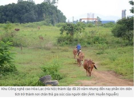 Tình trạng bò ăn cỏ ở Khu công nghệ cao Hòa Lạc, Hà Nội trong nhiều năm.