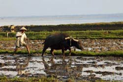 Một nông dân miền Bắc cùng với con trâu trên mảnh ruộng của mình. AFP photo