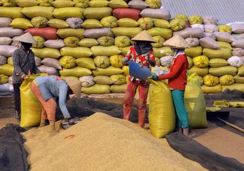 Thu hoạch lúa tại vùng Đồng bằng Sông Cửu Long