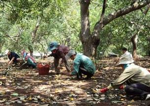 Nhiều khu vực trồng điều ở Bình Phước phải thu hoạch non trước thời hạn.