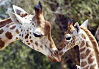 Giraffe200.jpg
