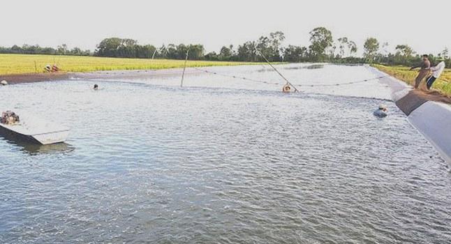 Đã có cả ngàn héc ta diện tích lúa bị nông dân phá bỏ để đào ao ương cá tra giống ở Long An.