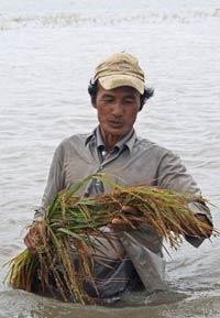Một nông dân vùng ĐBSCL cầm bó lúa bị hư do ruộng ngập nước hôm 05/10/2011. AFP photo
