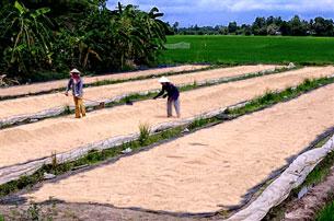 Lúa được phơi cho khô trước khi đóng bao bì. AFP