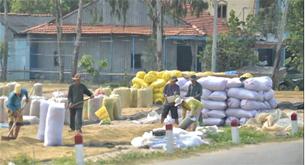 Lúa được phơi khô trước khi cho vào bao bì. RFA