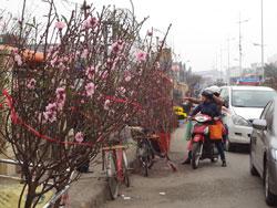 Hoa Đào Tết bán tại Hà Nội, ảnh minh họa chụp trước đây. RFA PHOTO.