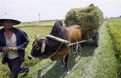 Lúa thâu hoạch được nông dân chở về. AFP
