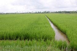 Cánh đồng lúa ở Đồng bằng sông Cửu Long. RFA