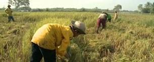 Nông dân Đồng Bằng Sông Cửu Long trong mùa thâu hoạch
